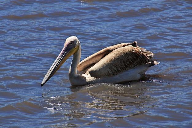 Пеликан на сафари в кении и танзании, африке