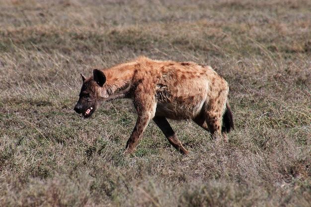 Гиена на сафари в кении и танзании, африке