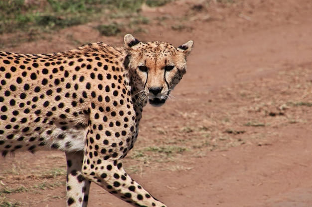 Гепард на сафари в кении и танзании, африке