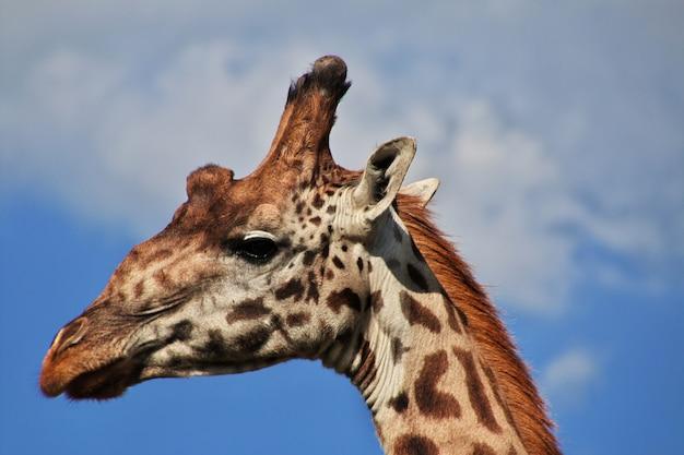 Жираф на сафари в кении и танзании, африке