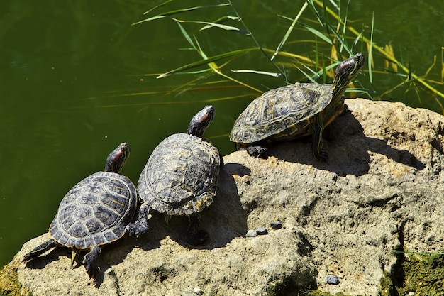 Черепаха в саду эрам города шираз, иран