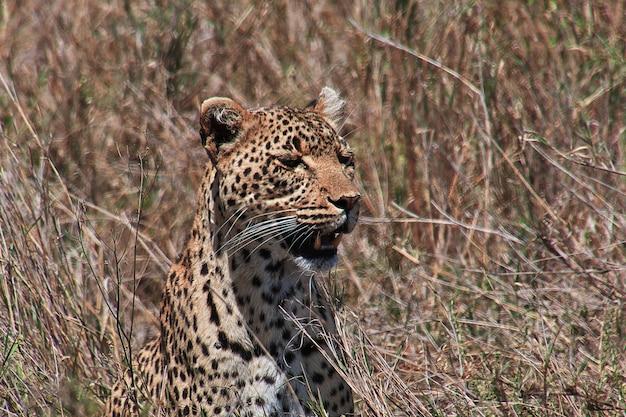 ケニアとタンザニア、アフリカのサファリのヒョウ