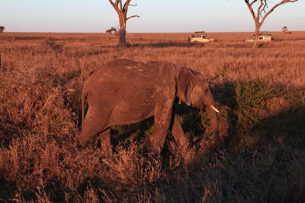Слон на саванне в кении и танзании, африке