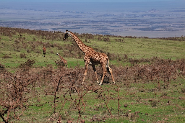 ケニアとタンザニア、アフリカのサファリのキリン