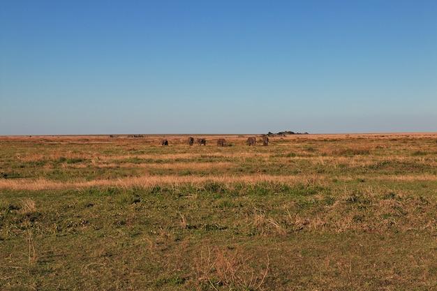 ケニアとタンザニア、アフリカのサバンナの象