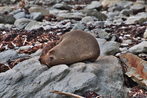 ニュージーランドのカイコウラのシール