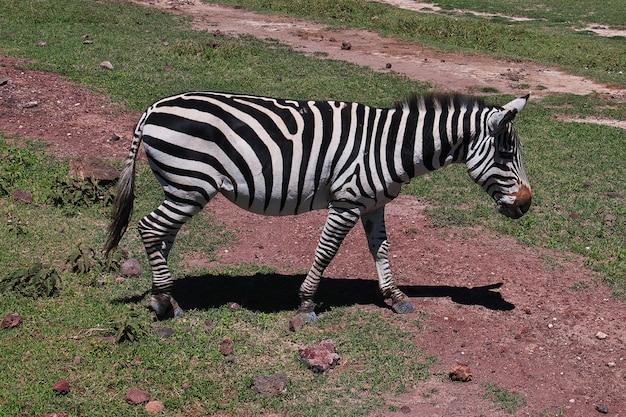 Зебра на сафари в кении и танзании, африке