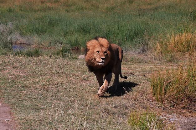 Лев на сафари в кении и танзании, африке