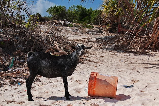 Дикая коза на пляже нунгви, занзибар, танзания