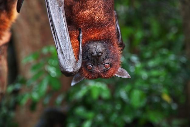 インドネシアバリ動物園モンキーフォレストのコウモリ