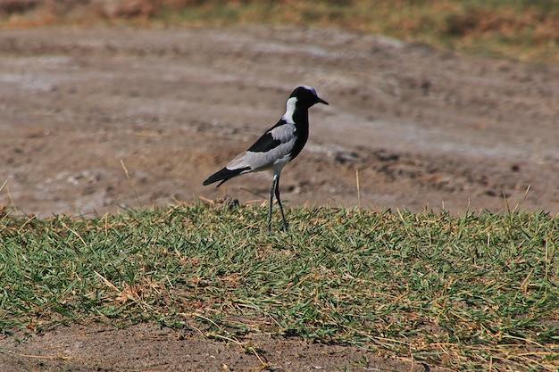 サファリの鳥
