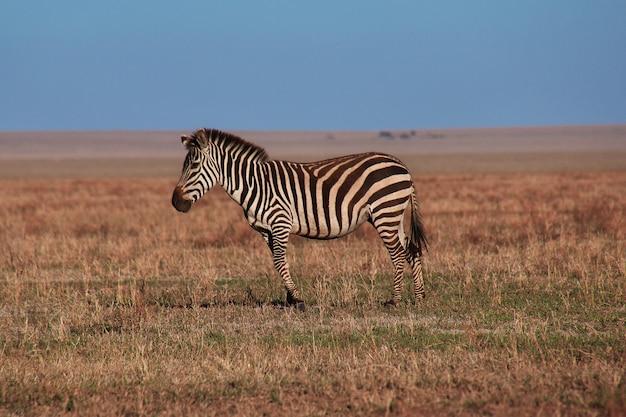 タンザニアのサファリのシマウマ