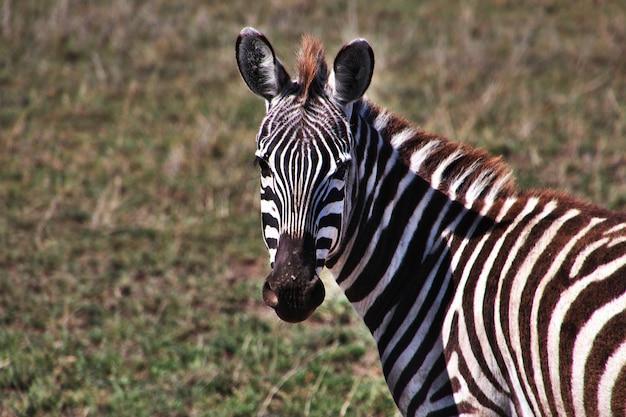 ケニアとタンザニア、アフリカのサファリのシマウマ