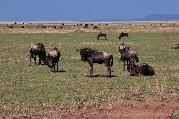 ケニアとタンザニア、アフリカのサファリでヌー