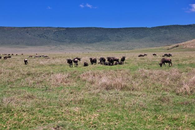 ケニアとタンザニア、アフリカのサファリの水牛