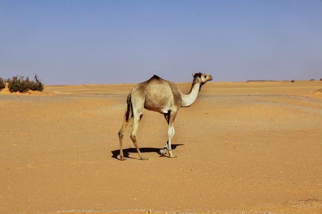 スーダンのサハラ砂漠のラクダ