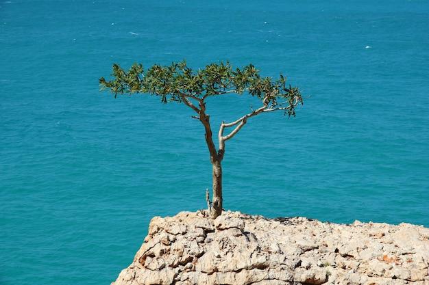 Дерево в скале, остров сокотра, индийский океан, йемен
