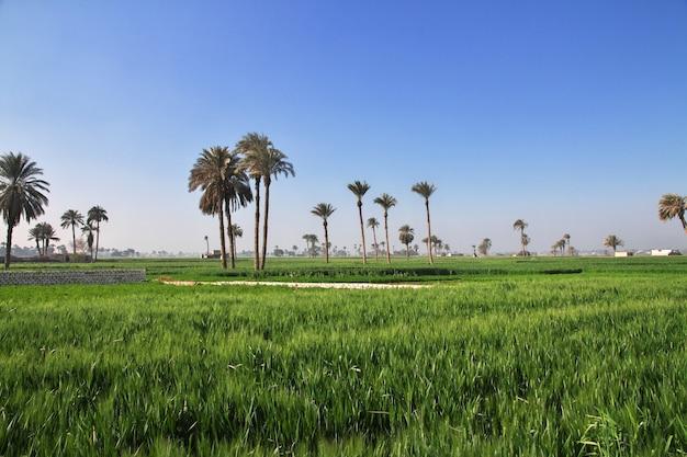 エジプト、ナイル川のほとりにあるアマルナのパピルス畑