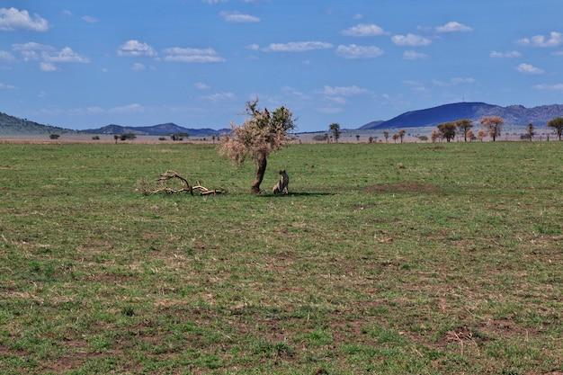 ケニアとタンザニア、アフリカのサファリのチーター