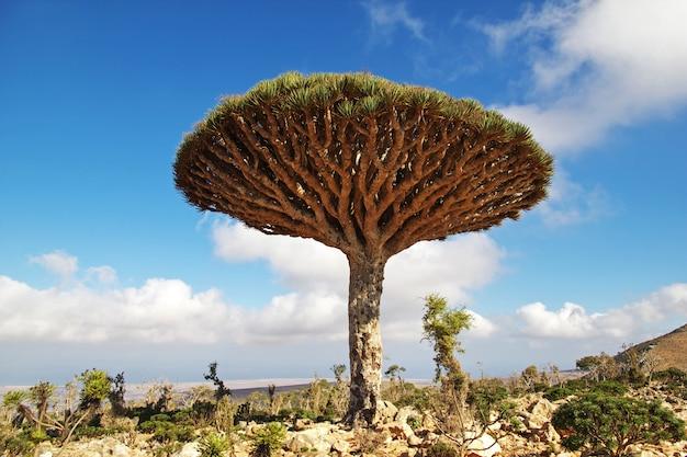 ドラゴンツリー、ホムヒル高原、ソコトラ島、インド洋、イエメンの血の木