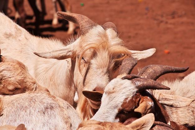 アフリカ、モシの地元市場のヤギ