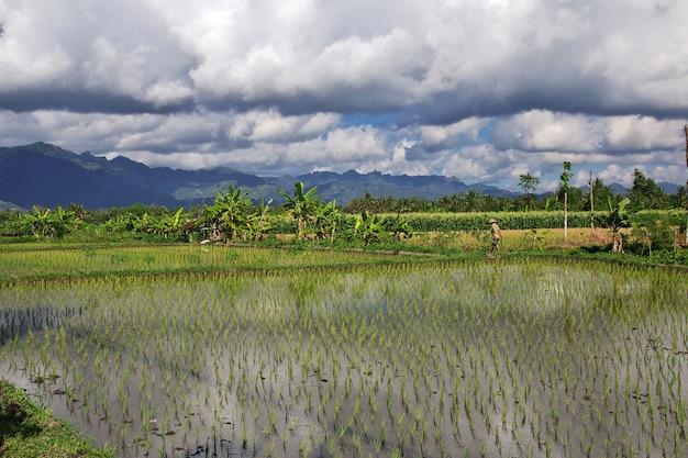 ジャワ島のインドネシアの村の田んぼ