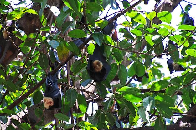 オーストラリア、クイーンズランド州、ケアンズ市の木にオオコウモリ