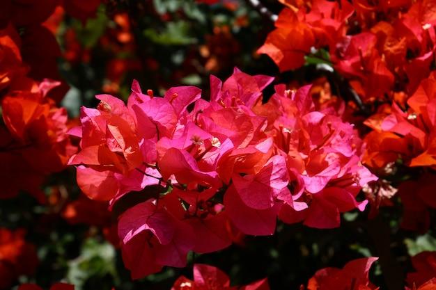 インドネシアパプア州ワメナ市の花