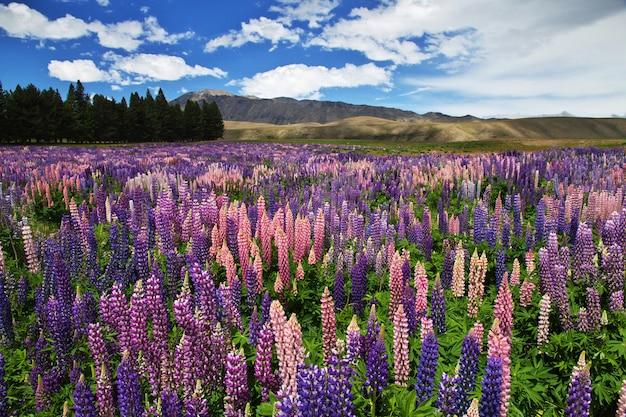 Цветы люпина в новой зеландии