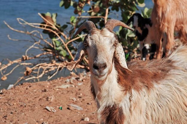 スーダン、ハルツームのナイル川にある小さな村のヤギ