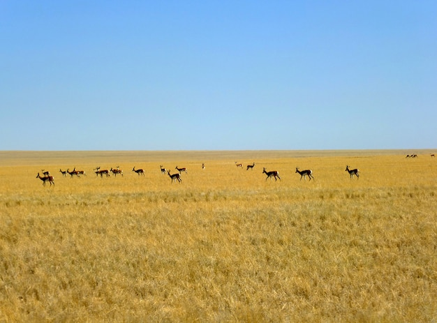 ナミビアのサファリのカモシカ