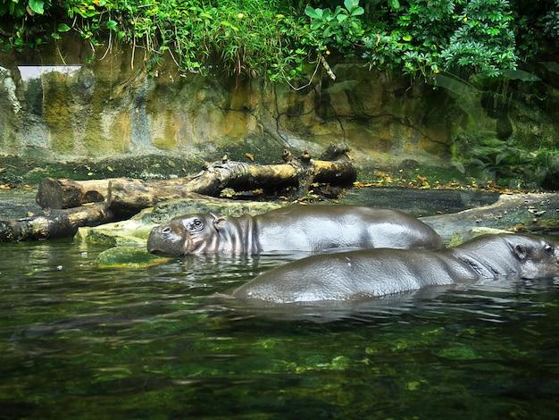 Бегемот в зоопарке, сингапур