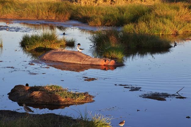 Бегемот, бегемот на сафари в кении и танзании, африка