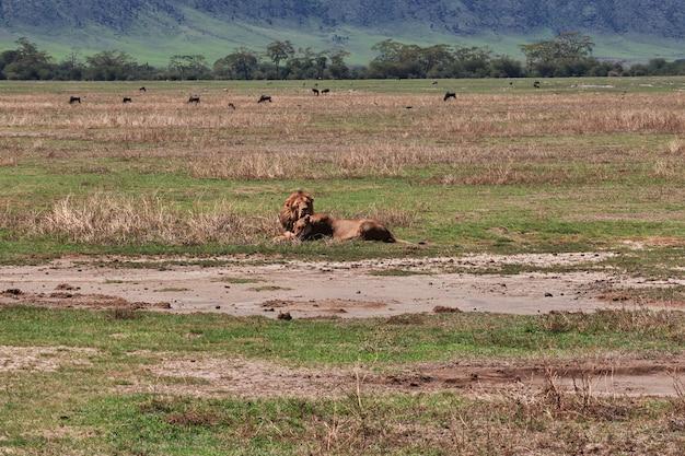Львы на сафари в кении и танзании, африке