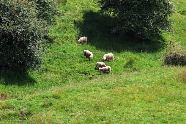 羊の丘とニュージーランドのフィールド