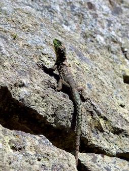 Ящерица в мачу-пикчу в андах, перу, южная америка