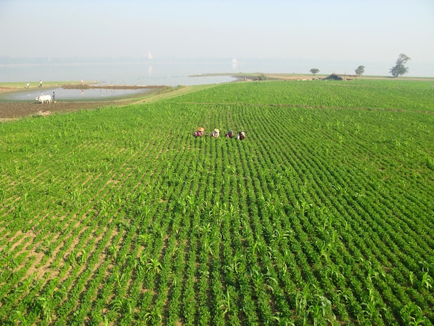 Рисовое поле на побережье озера таунгтаман, амарапура, мьянма