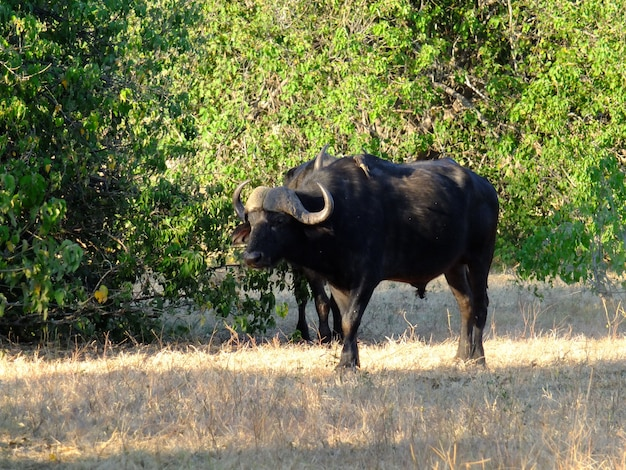 Буйвол на сафари в национальном парке чобе, ботсвана, африка