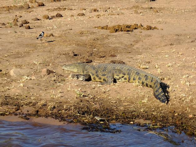 Крокодил в реке замбези, ботсвана, африка