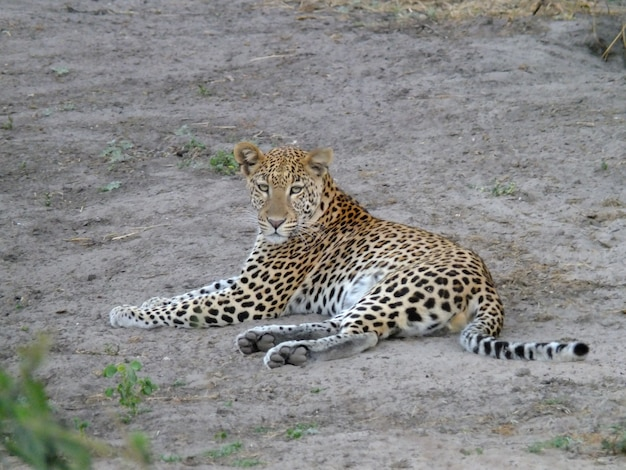 Леопард на сафари в национальном парке чобе, ботсвана, африка