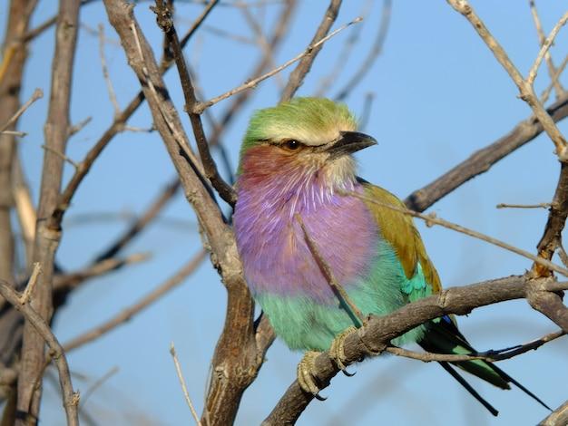 Птица чобе, ботсвана, африка