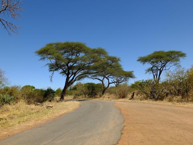 Акация в ливингстоне, зимбабве, африке