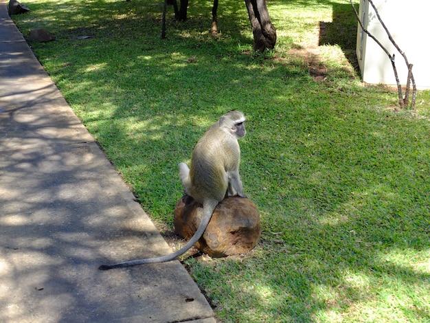 ホテル、ビクトリアの滝、ザンビアの猿