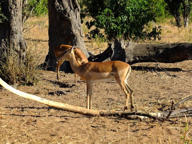 Антилопа на сафари в национальном парке чобе, ботсвана, африка