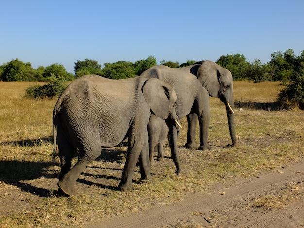 Слон на сафари в национальном парке чобе, ботсвана, африка