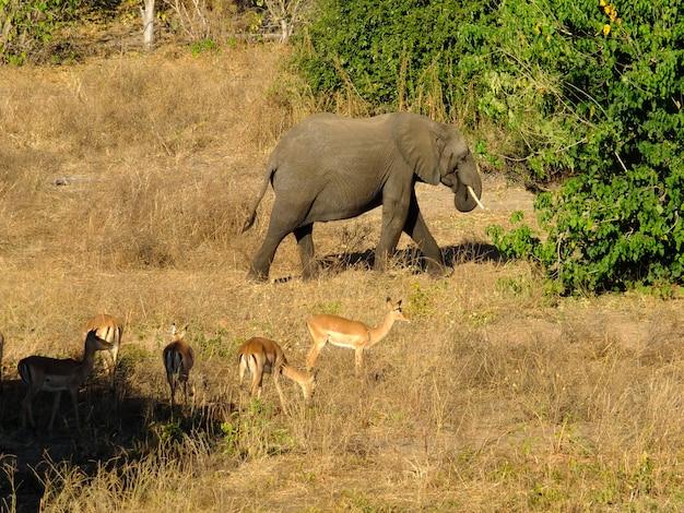 Слон в национальном парке чобе, ботсвана, африка