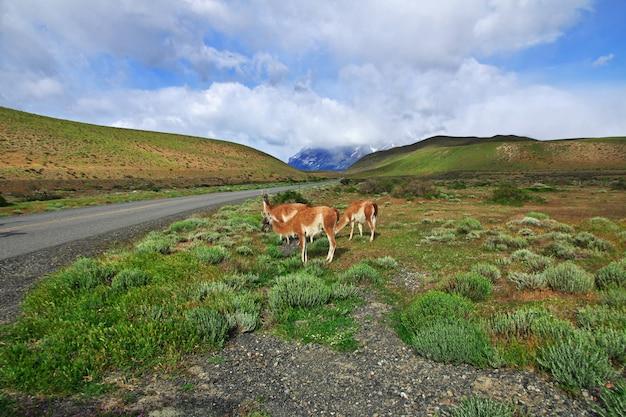 トレスデルパイネ国立公園、パタゴニア、チリのラマ