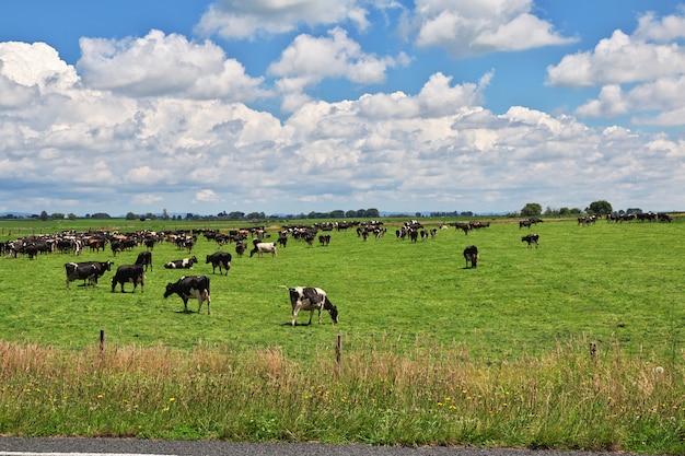 ニュージーランドの丘と畑のカウ