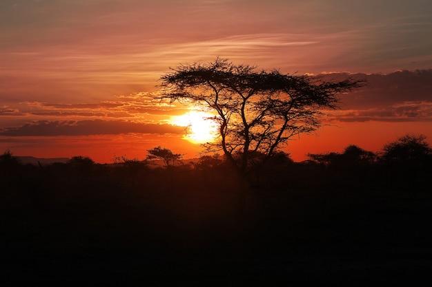 アフリカのサバンナに沈む夕日。アカシアの枝の太陽。