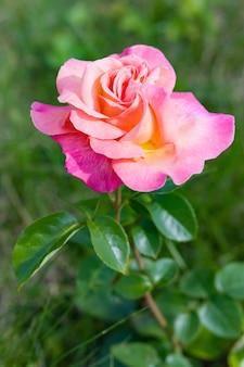 Розовый цветок в летнем саду